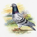 Pigeon Chq