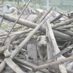 Chińscy naukowcy sklonowali świnię, która przeżyła trzęsienie ziemi