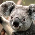 koala, chiny, leszek slazyk