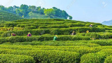 Photo of Tajemniczym szlakiem herbaty – herbata Longjing